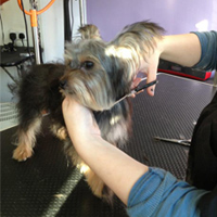 Small Yorkie dog getting cut