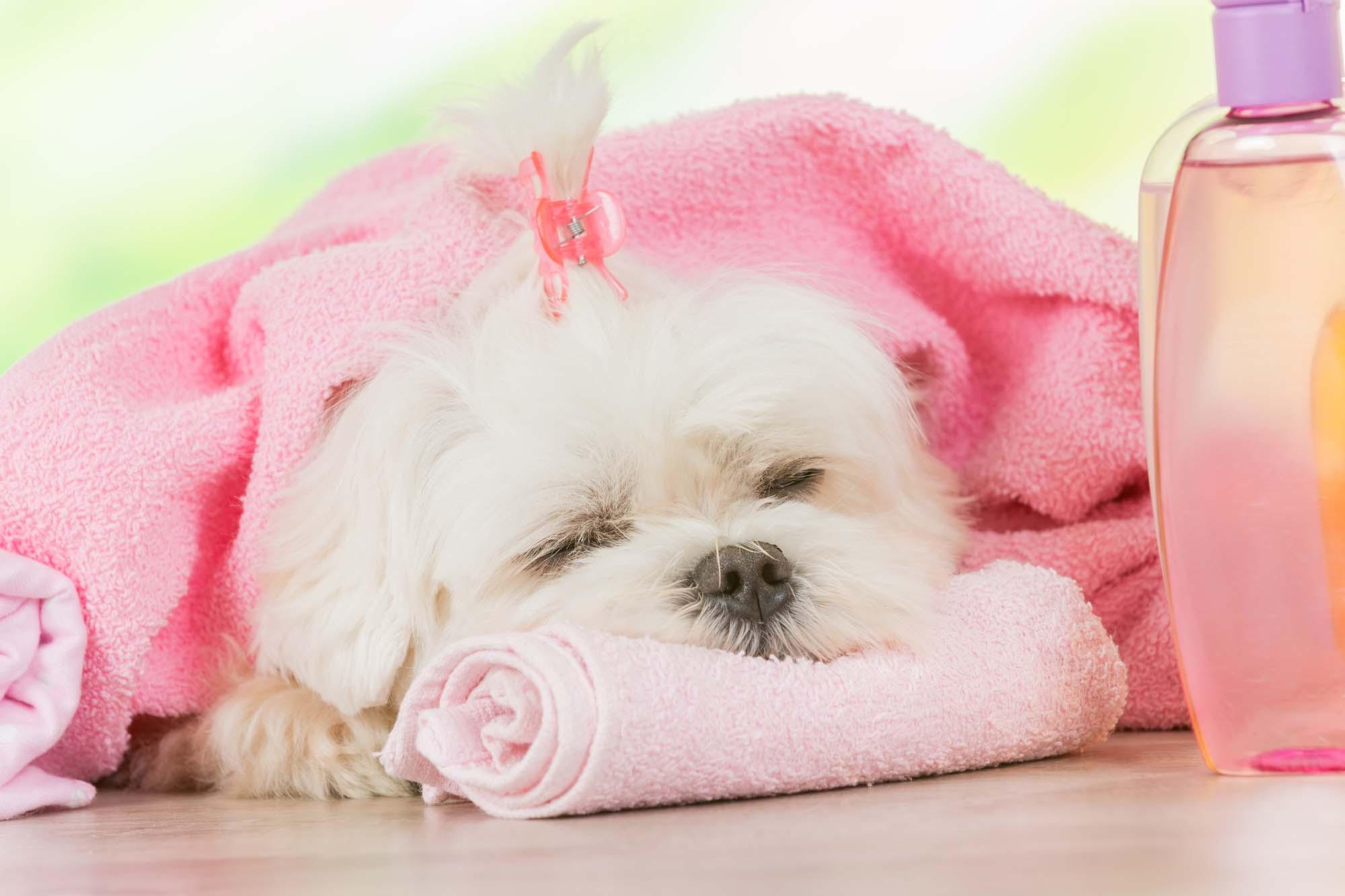 Small white dog dog sleeping